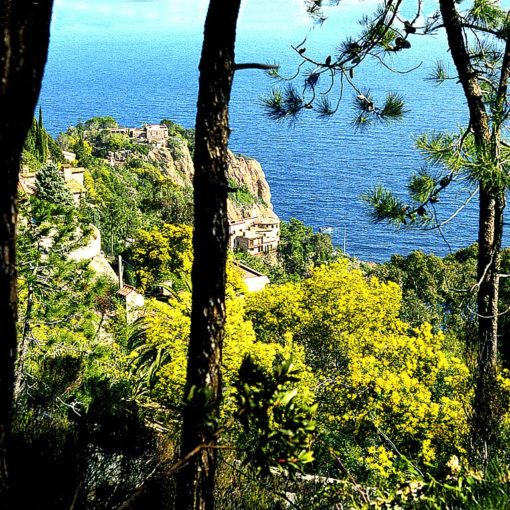 View of mimosas from the balcony path above the coast, Côte d'Azur, France