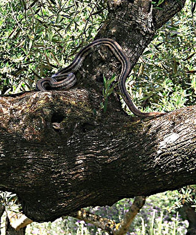 four line snake